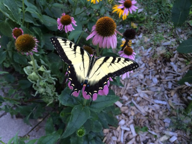 Tiger Swallowtail, via The New Home Economics