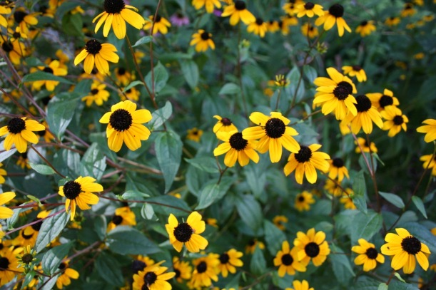 Brown eyed susans, via The New Home Economics
