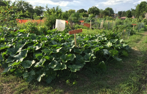 Community garden pumpkins, via the New Home Economics