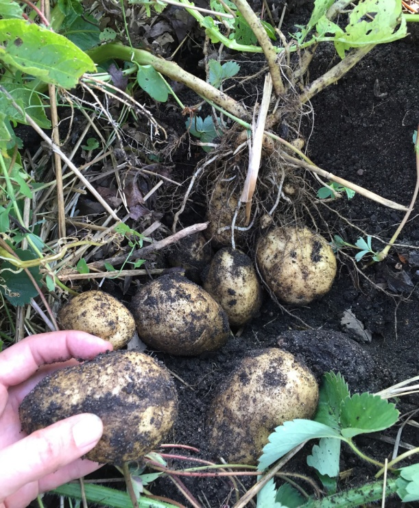Harvesting potatoes, via The New Home Economics