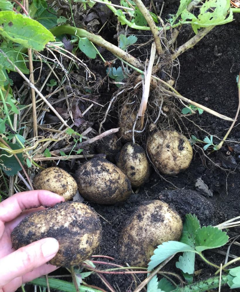 Harvesting potatoes, via The New Home Economics