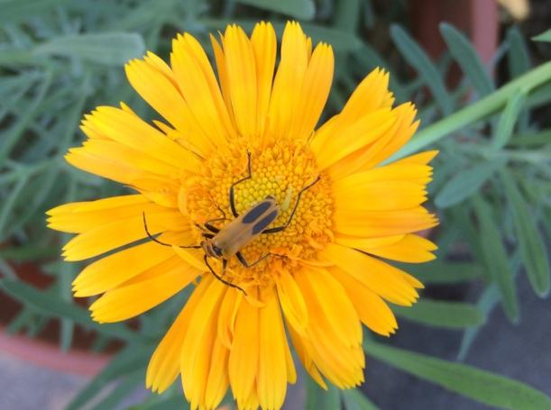 Soldier Beetle // via The New Home Economics