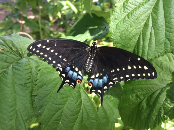 Black Swallowtail butterfly, via the New Home Economics