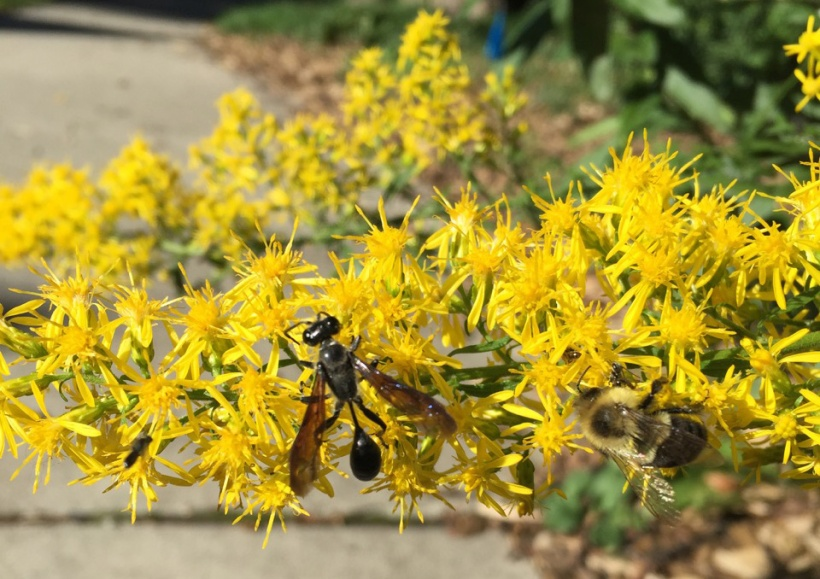 Thread waist wasp on goldenrod, via The New Home Economics