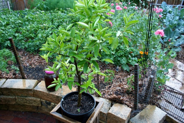 Potted citrus plants, via The New Home Economics