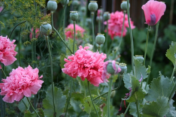 Poppies, via The New Home Economics