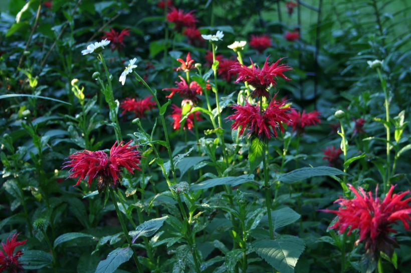 Bee balm, via The New Home Economics