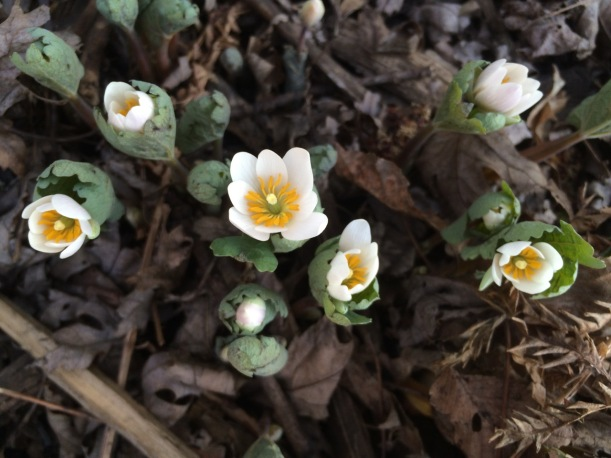 Bloodroot, via The New Home Economics