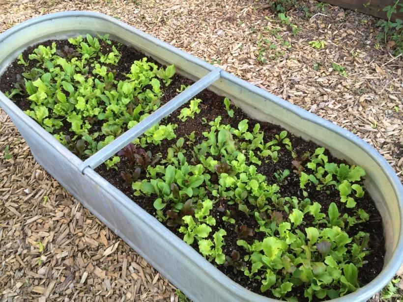 Lettuce, via the New Home Economics