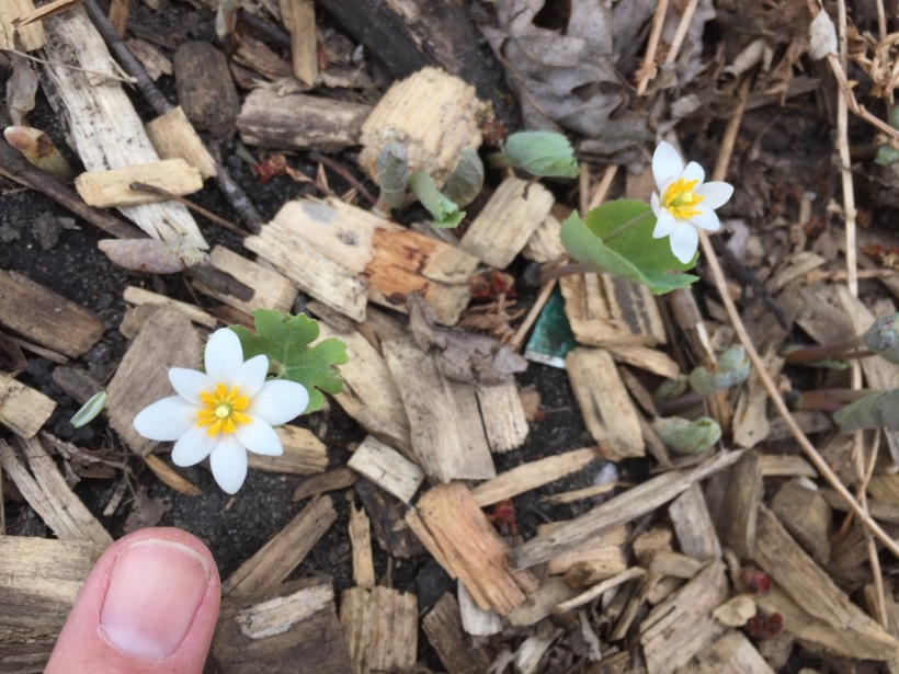 First bloodroot of 2017, via The New Home Economics