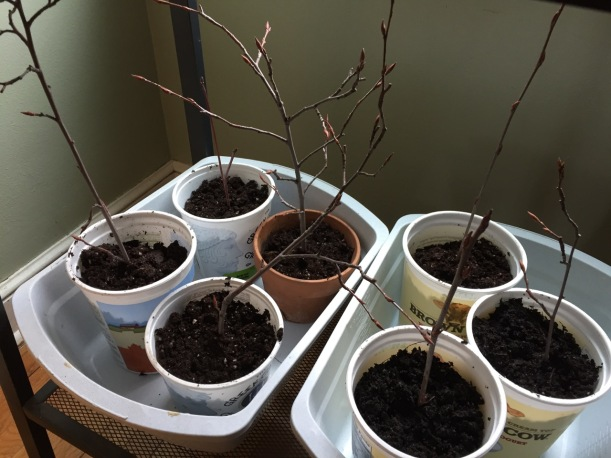 Sprouting serviceberry branches, via The New Home Economics