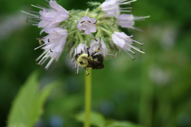 Bumblebee on Virginia Waterleaf, via The New Home Economics