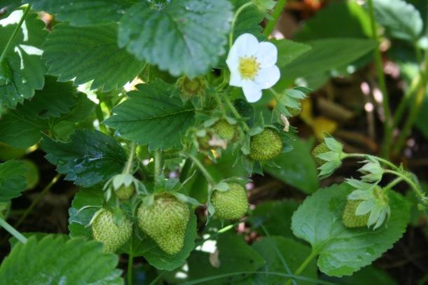 2017 Strawberries, via The New Home Economics