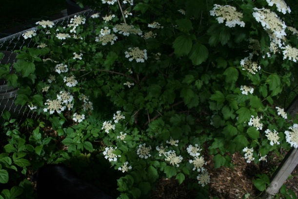 American Highbush Cranberry flowers (Viburnum Trilobum), via The New Home Economics