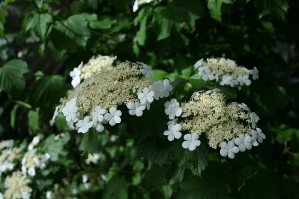 American Highbush Cranberry flowers (Viburnum Trilobum), via The New Home Economics