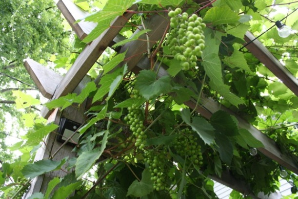 Wine grapes, via The New Home Economics