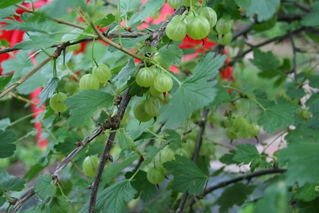 Gooseberries, via The New Home Economics