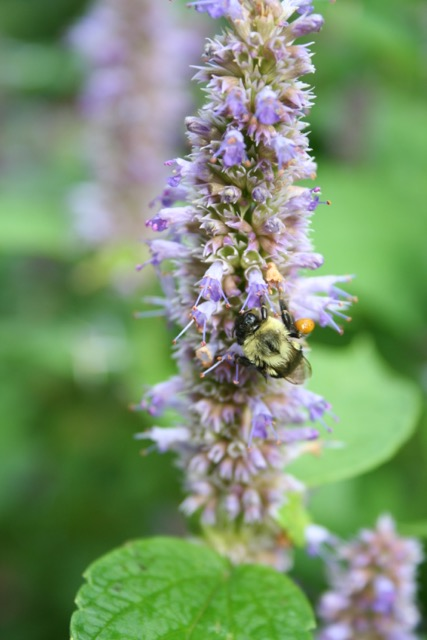 Bee on anise hyssop, via The New Home Economics