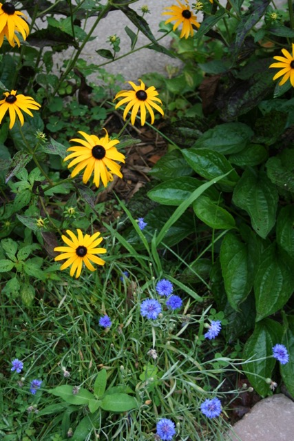 Brown eyed susans and bachelors buttons, via The New Home Economics