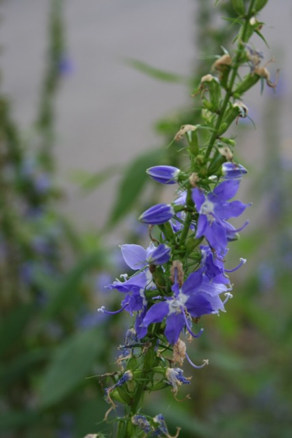 Tall bellflower, via The New Home Economics