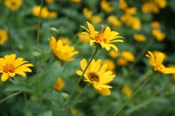Early Sunflowers, via The New Home Economics
