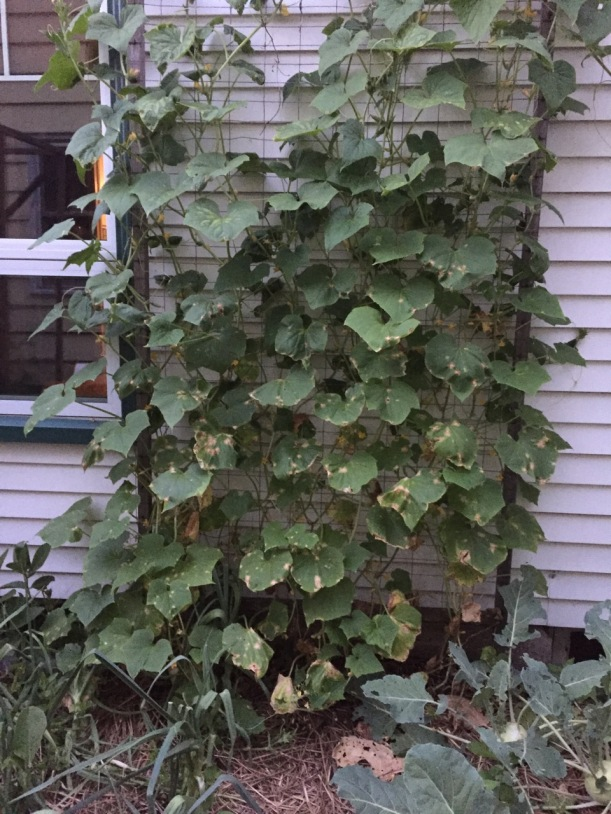 Cucumbers on a trellis, with disease