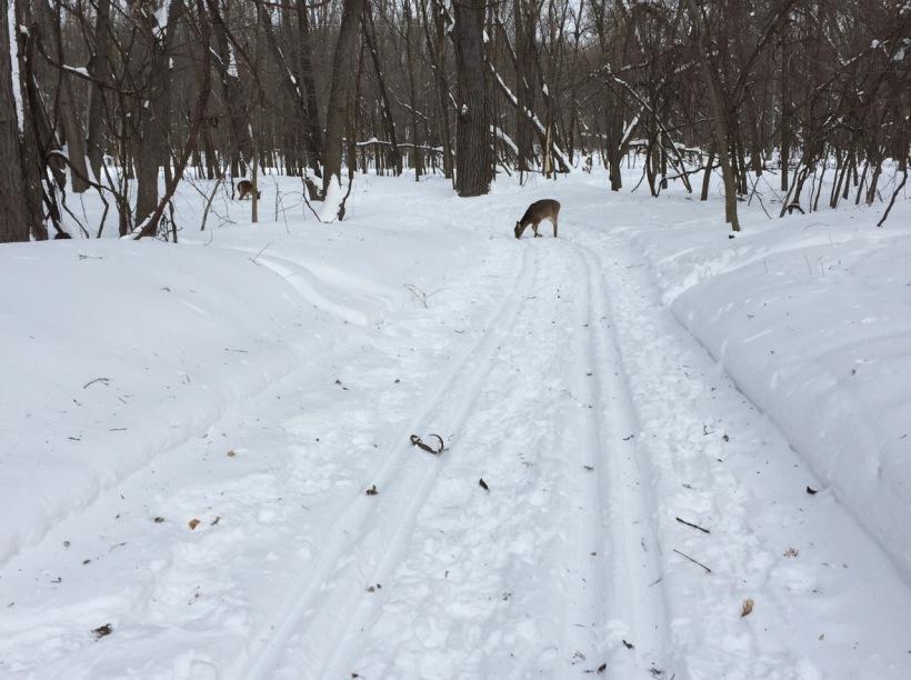 Deer at Fort Snelling State Park