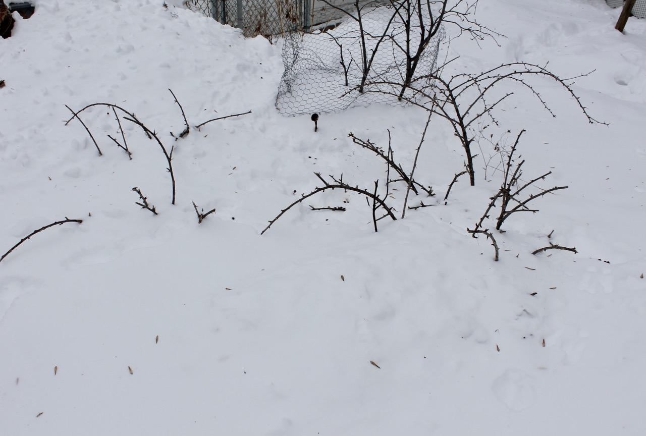 Rabbit-pruned gooseberry bushes