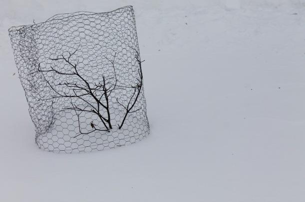 A small pagoda dogwood aka alternate-leaf dogwood, in winter