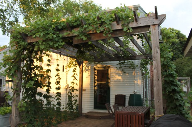 grape and hops growing on an arbor