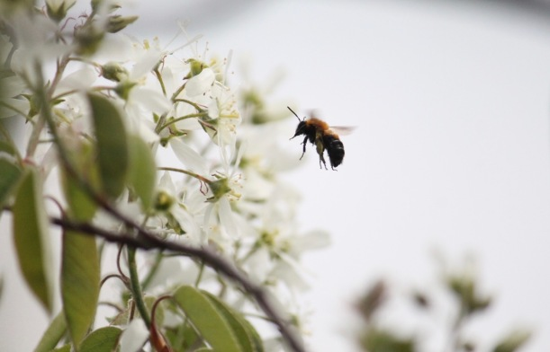 Bee approaching a serviceberry