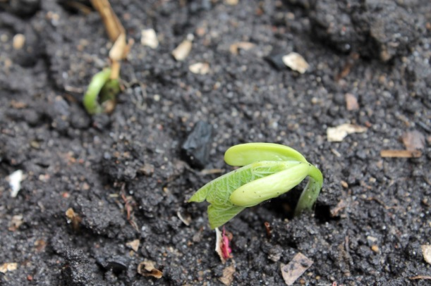 Beans emerging